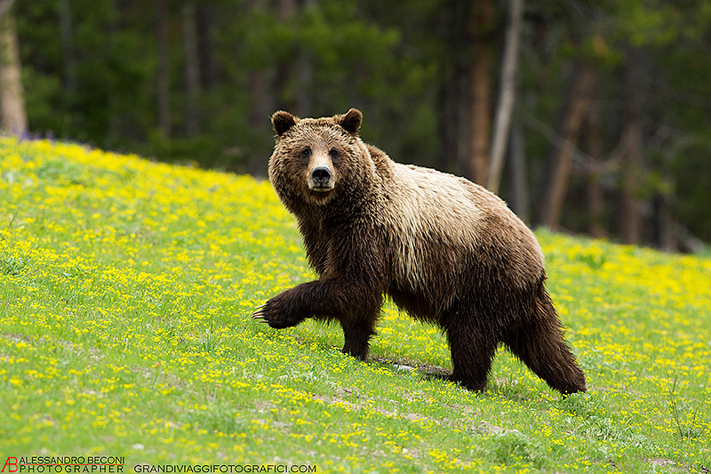 grizzly-6658