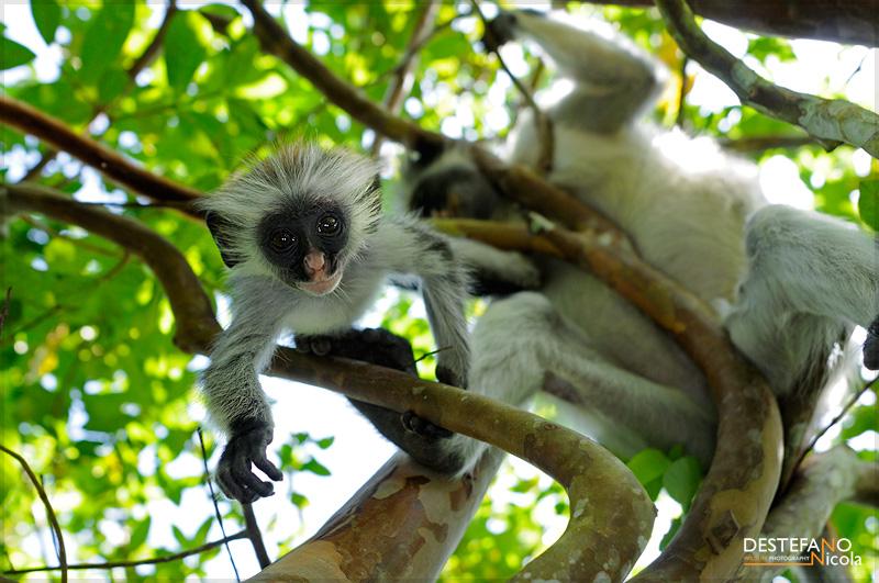 Colobo rosso di zanzibar grandi viaggi fotografici - Gli animali della foresta pluviale di daintree ...