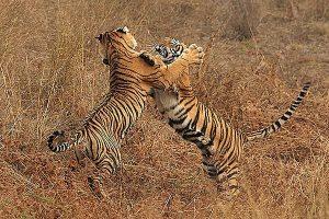 tigre59