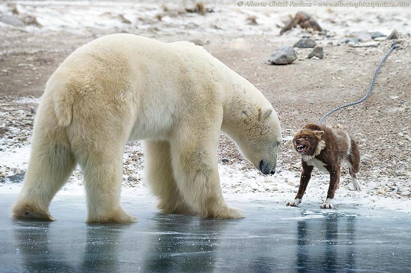 cane contro l'orso polare