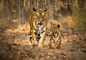 Bandhavgarh-0595-6ridim-1920x760